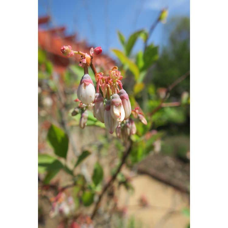 Vaccinium ashei 'Yadkin' - rabbiteye blueberry