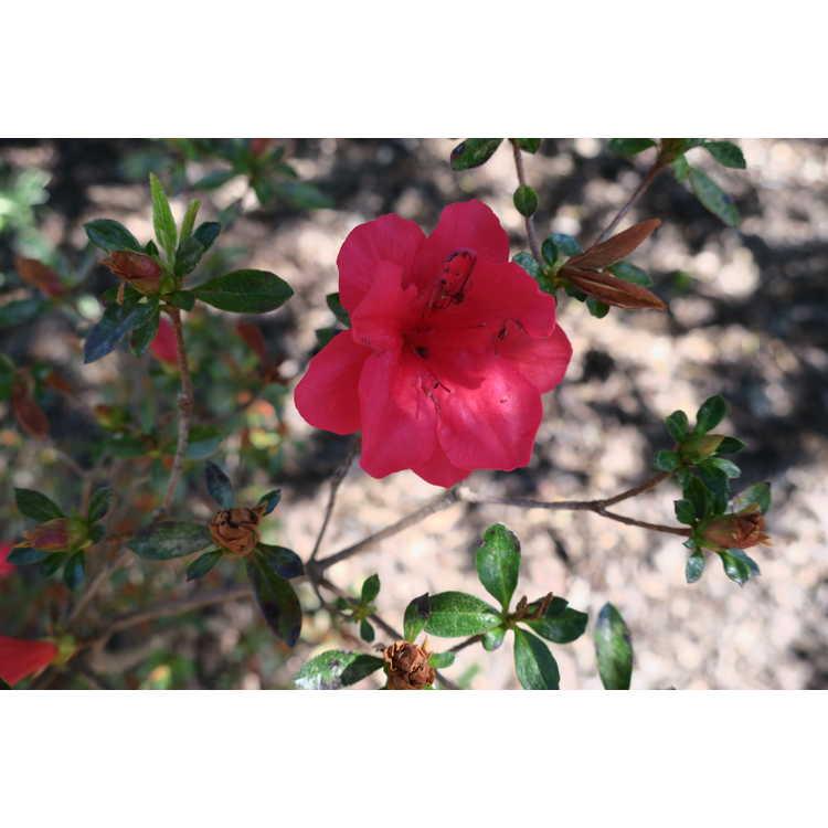 Rhododendron 'Emily' - Carla hybrid azalea