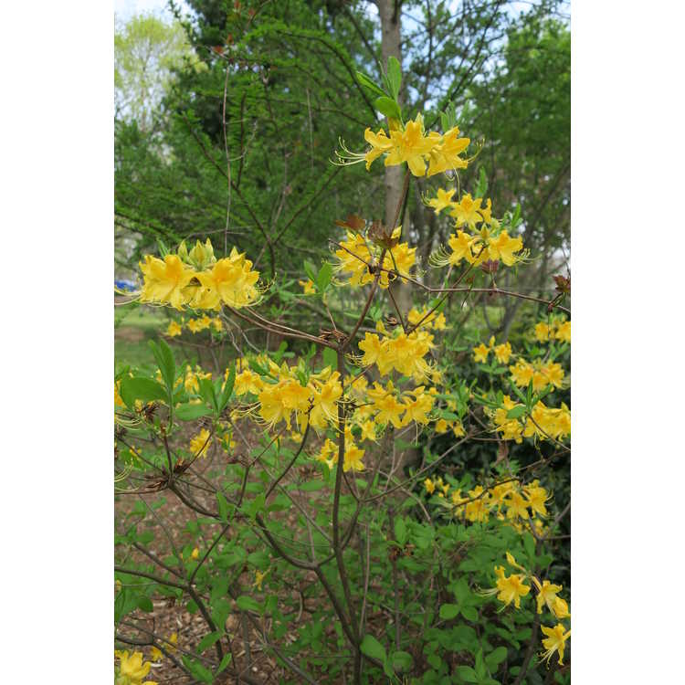 Rhododendron austrinum yellow #3