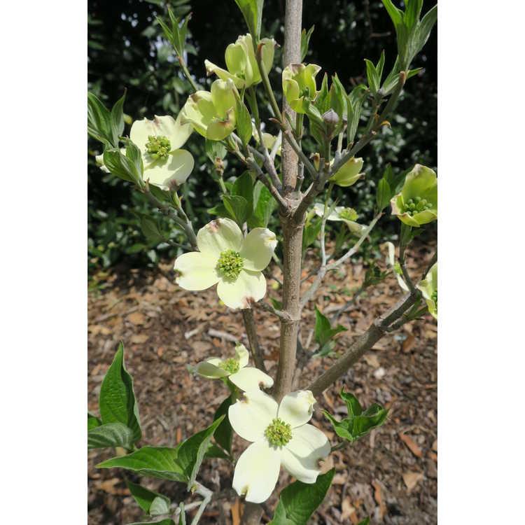 Cornus florida Appalachian Spring