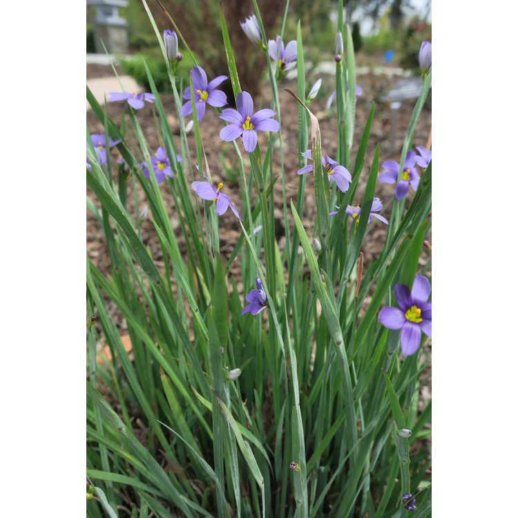 Sisyrinchium angustifolium 'Lucerne' - narrowleaf blue-eyed grass