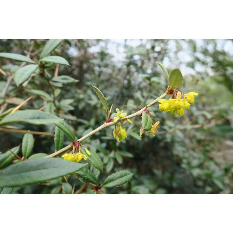 Berberis lempergiana