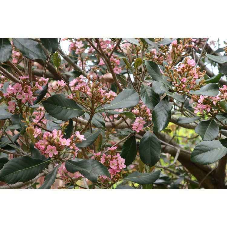 Rhaphiolepis indica 'Conda' - Rosalinda Indian hawthorn