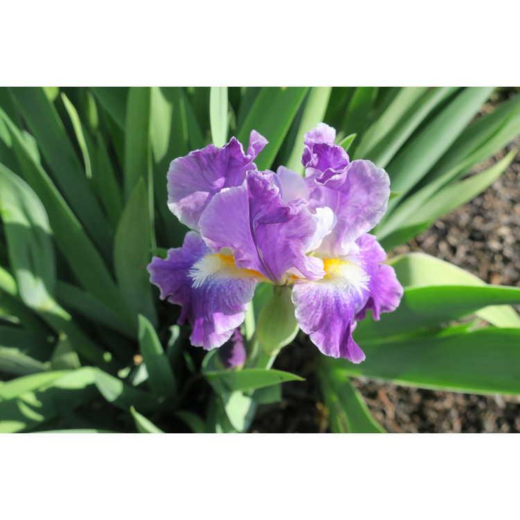 Iris 'Sparkling'