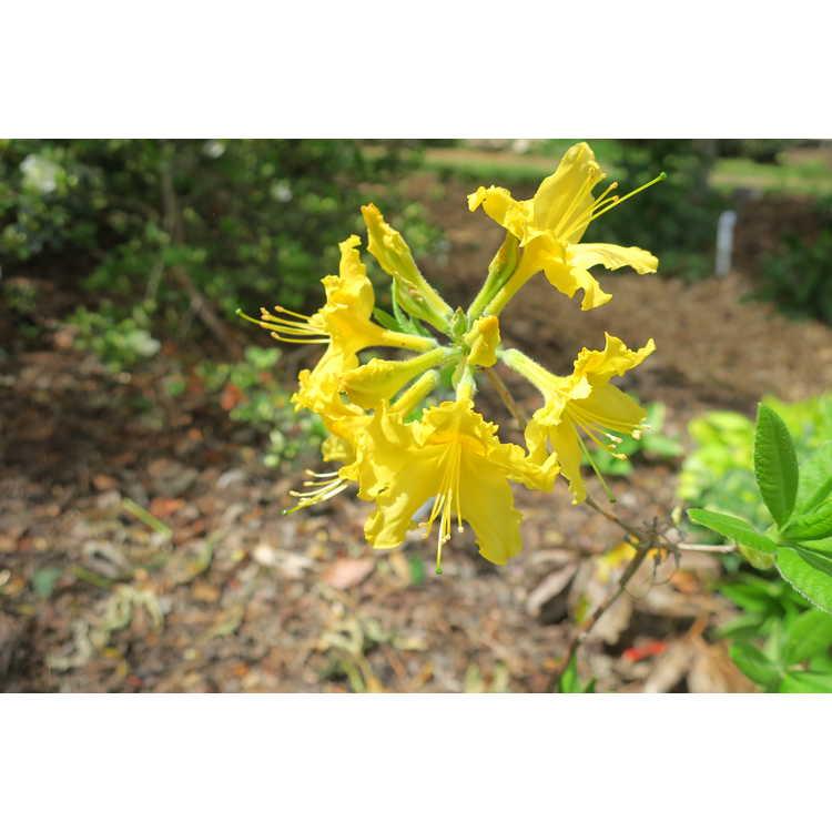 Rhododendron 'Lemonade' - Aromi hybrid azalea