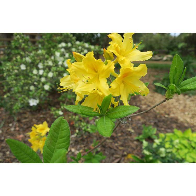 Rhododendron 'Lemonade'