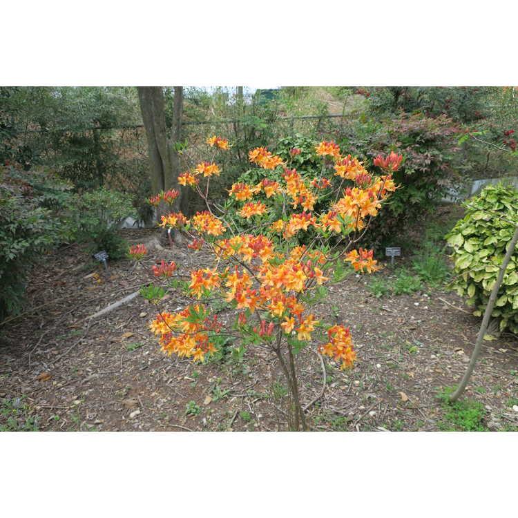 Rhododendron austrinum 'Hotspur Yellow'