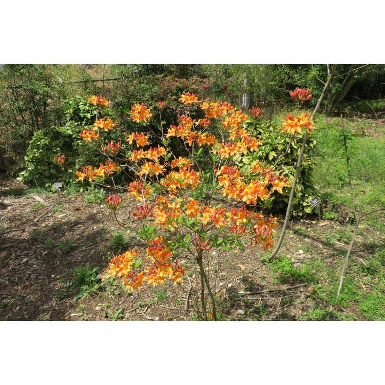 Rhododendron austrinum Hotspur Yellow