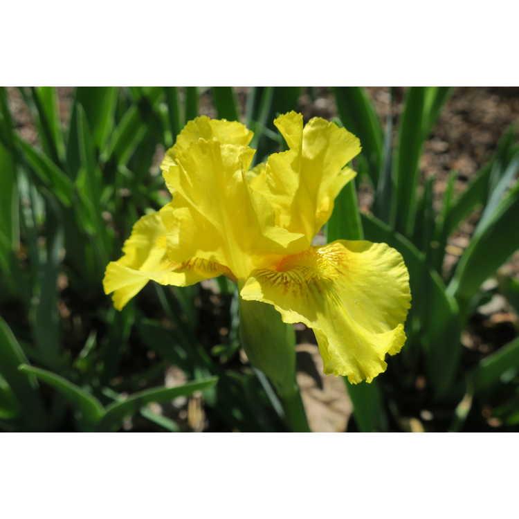 Iris 'Marris'