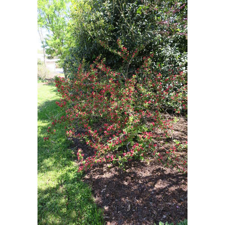 Weigela florida Verweil-4 Sonic Bloom Red