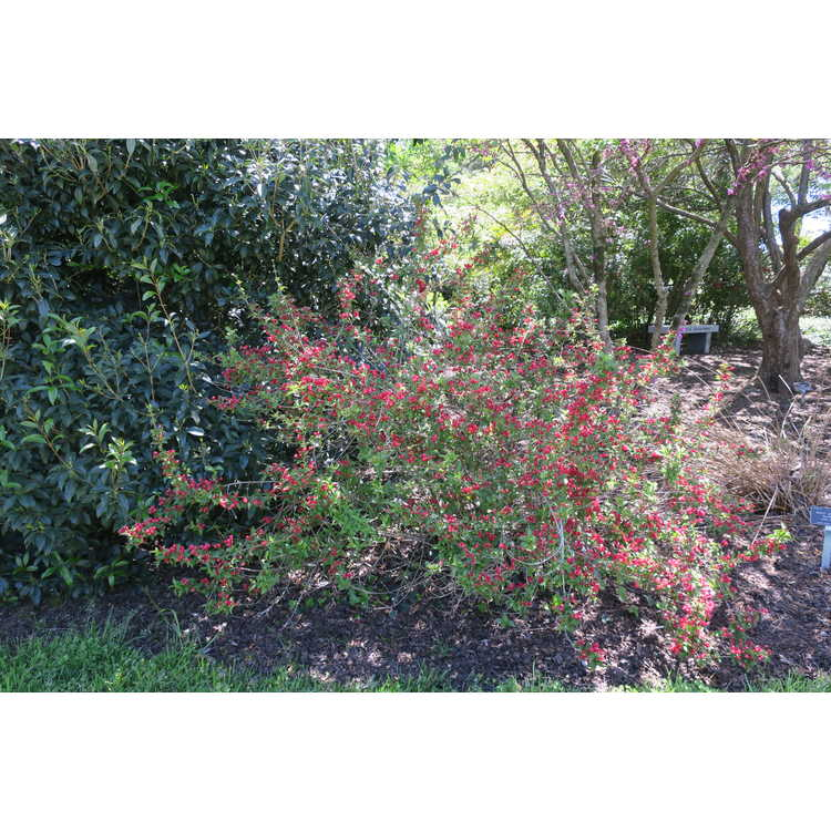 Weigela florida 'Verweil-4' - Sonic Bloom Red reblooming weigela