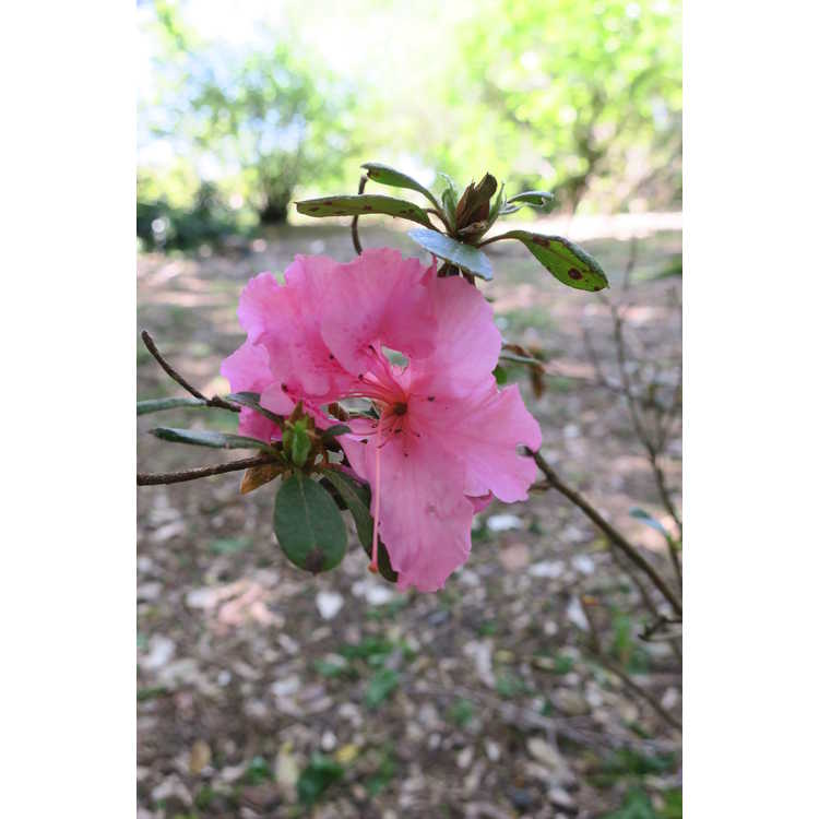 Rhododendron Rlh1-2p8 Bloom-A-Thon Pink Double