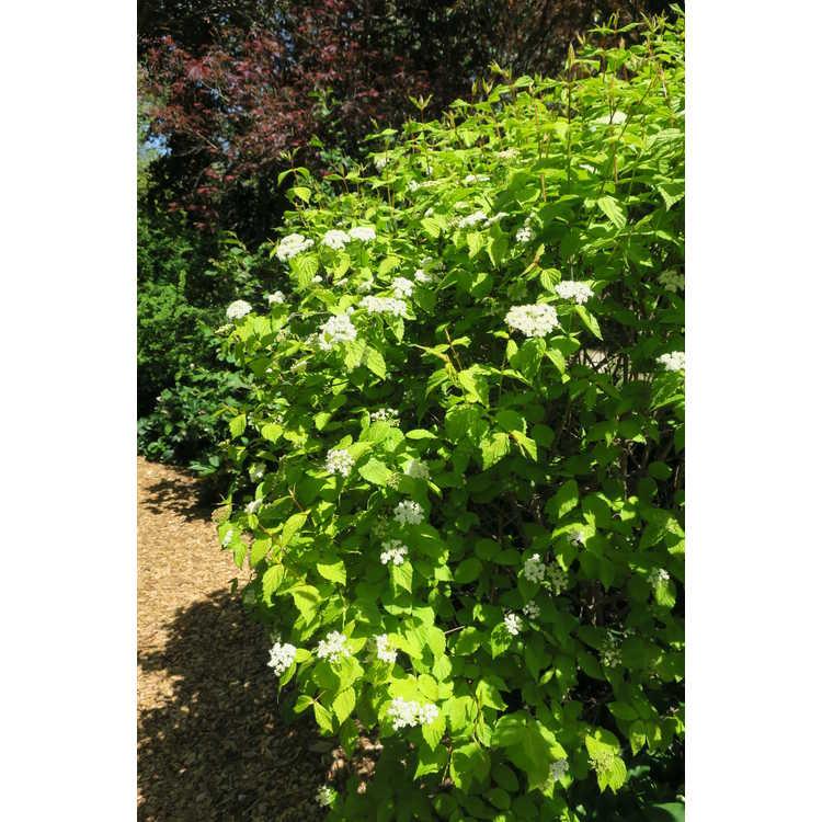 Viburnum rafinesquianum 'Louise's Sunbeam'
