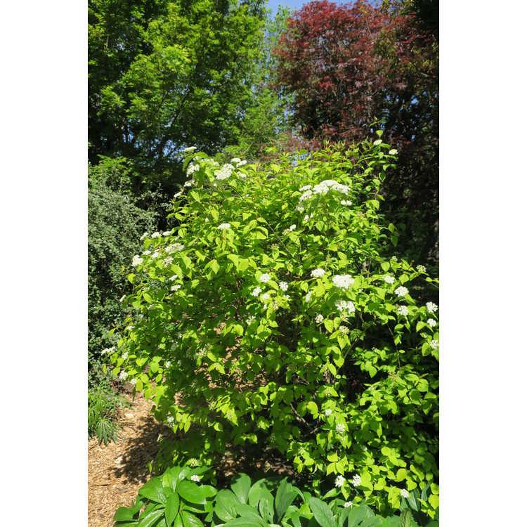 Viburnum rafinesquianum 'Louise's Sunbeam' - golden downy arrowwood