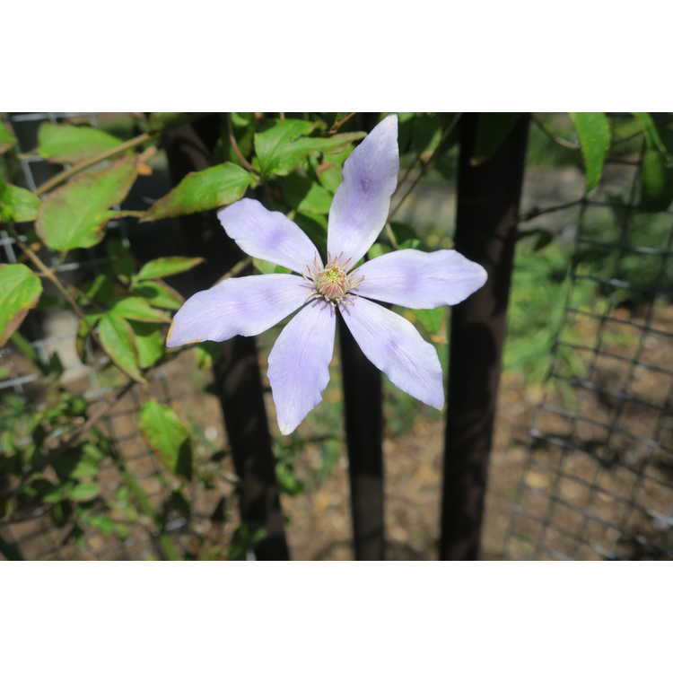Clematis Scented Clem Sugar-Sweet Blue