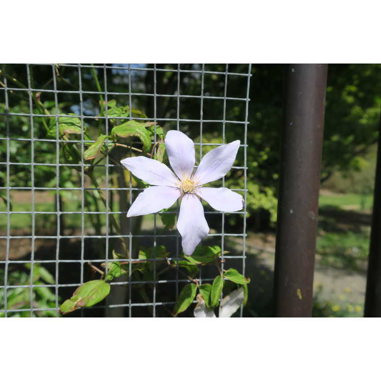 Clematis 'Scented Clem'