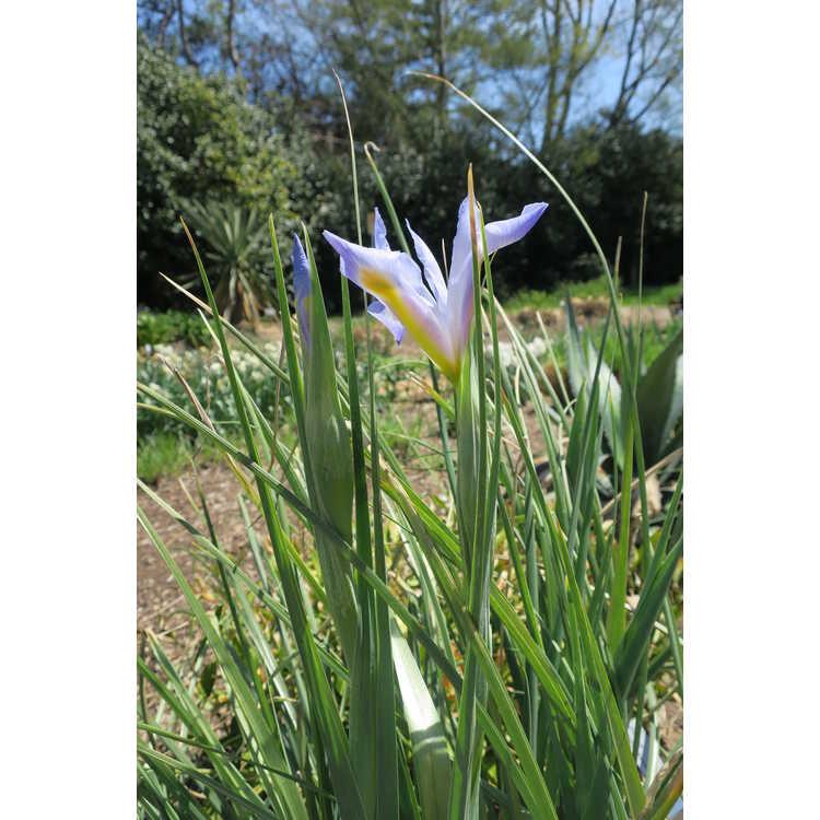 Iris 'Sky Beauty'
