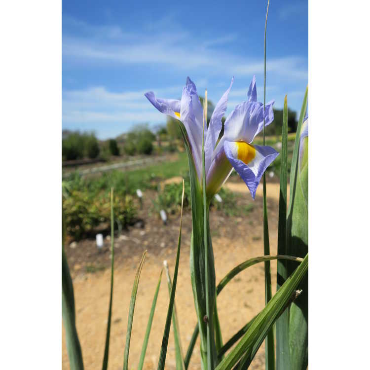 Iris Sky Beauty
