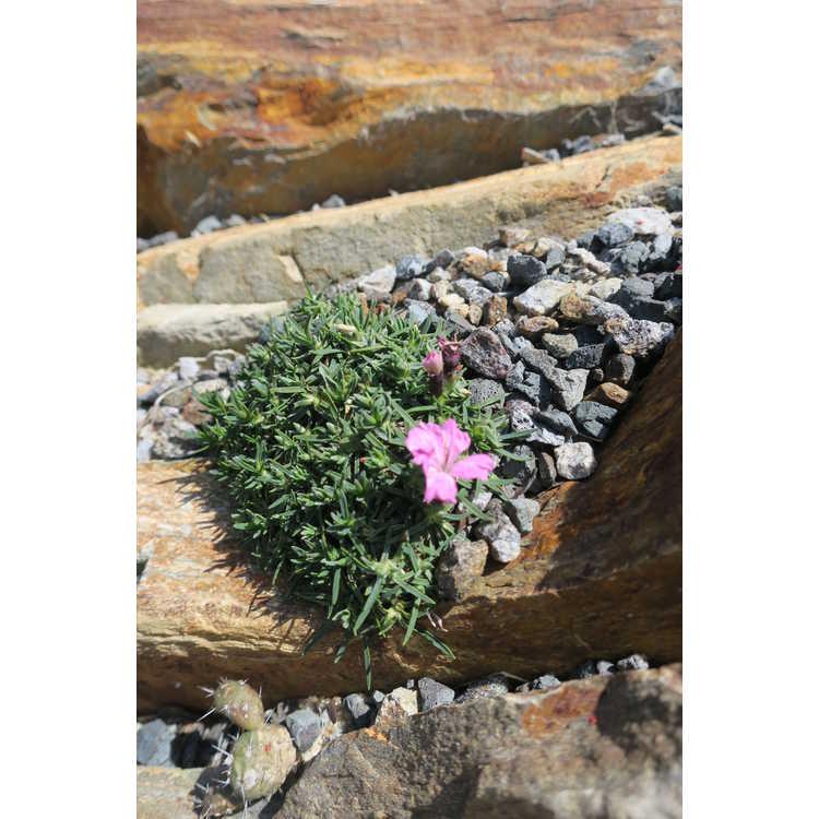 Dianthus scardicus