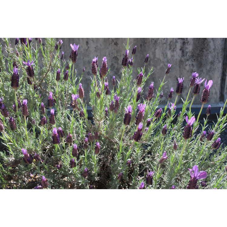 Lavandula 'Avonview' - Spanish lavender
