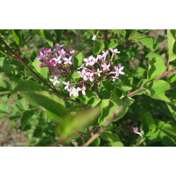 Syringa 'Smsmprz1' - Rhythm & Bloom re-blooming lilac