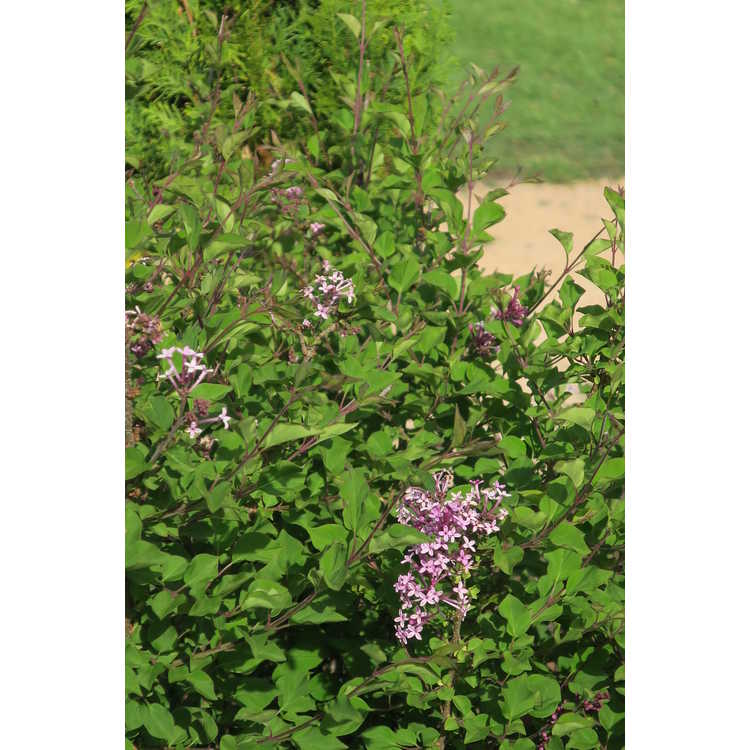 Syringa Smsmprz1 Rhythm & Bloom