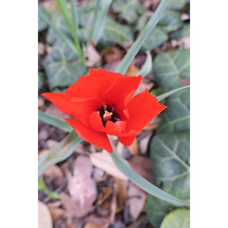 Tulipa 'Red Hunter'