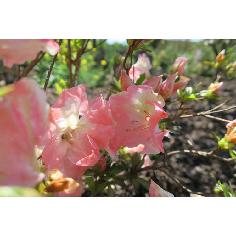 Rhododendron 'Cotton Candy' - Weston hybrid azalea