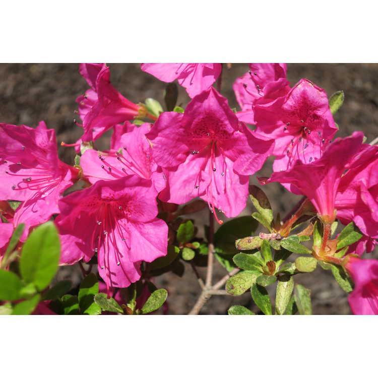 Rhododendron 'Fred D. Cochran' - Carla hybrid azalea