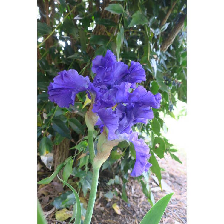 Iris 'Redelta'