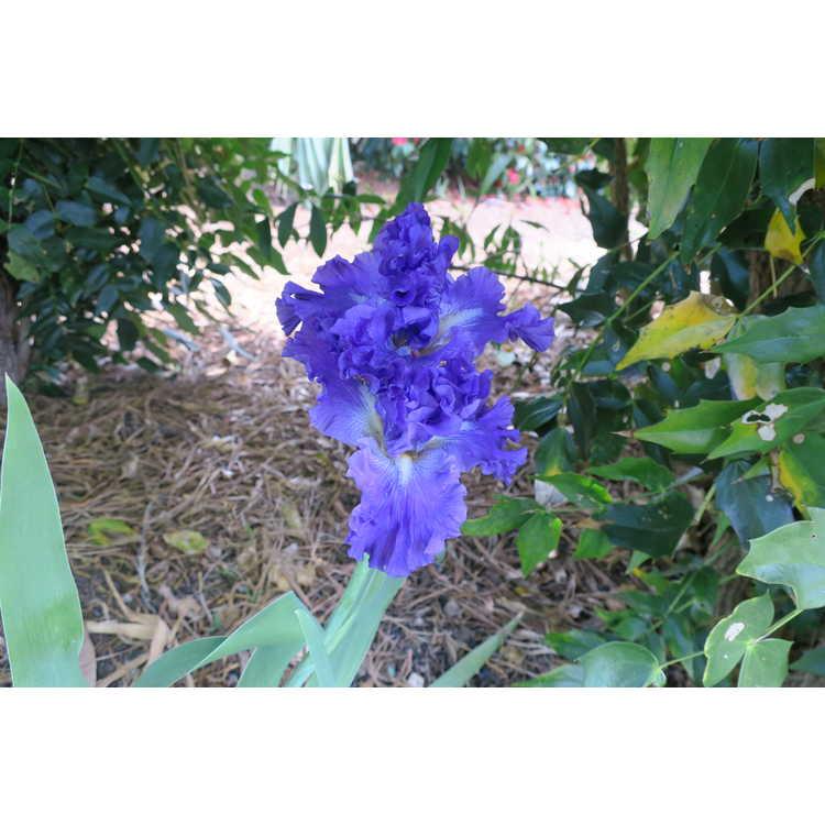 Iris Redelta