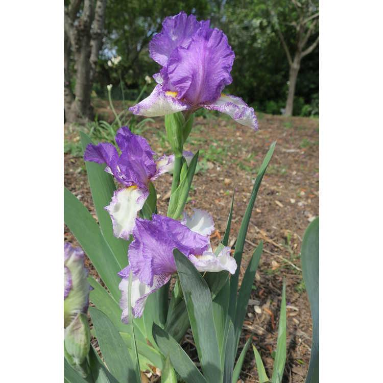 Iris 'In Retrospect'