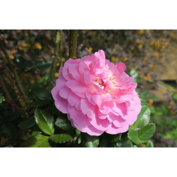 Rosa Radprov Orchid Romance
