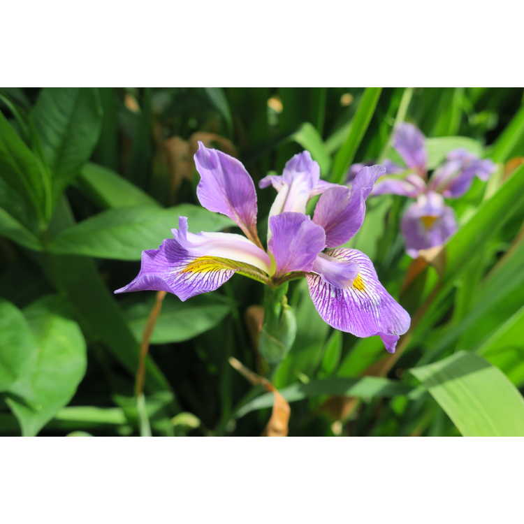 Iris virginica 'Contraband Girl' - southern blue flag