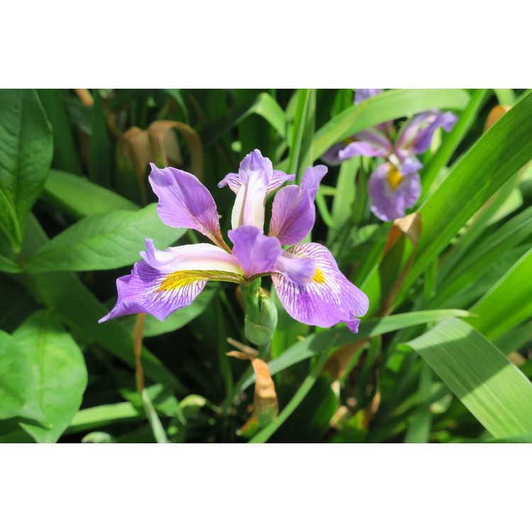 Iris virginica Contraband Girl