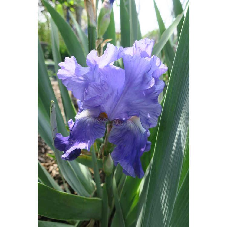 Iris 'Blue Review'