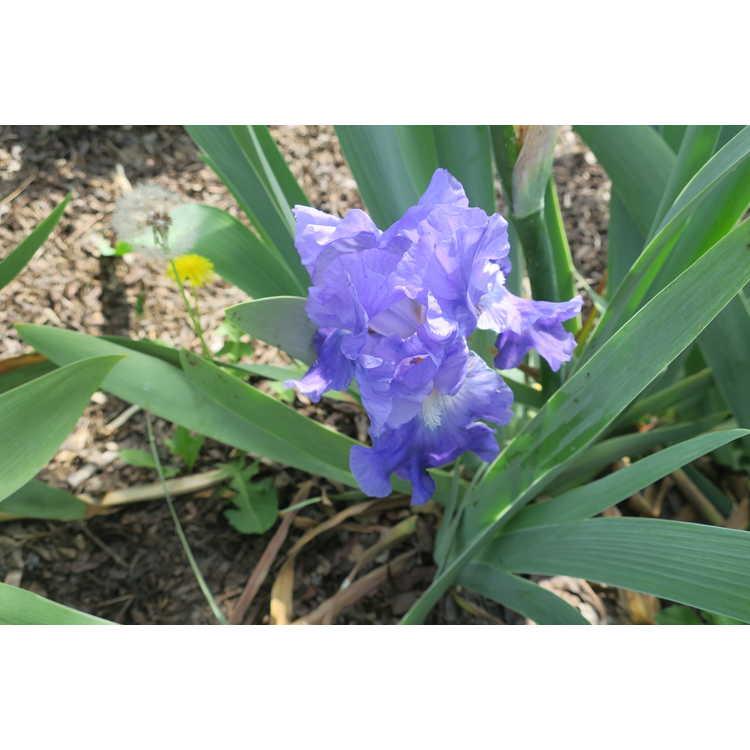 Iris Blue Review