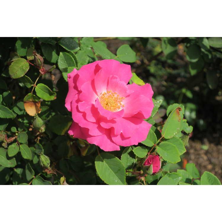 Rosa 'Zepherine Drouhin' - bourbon rose