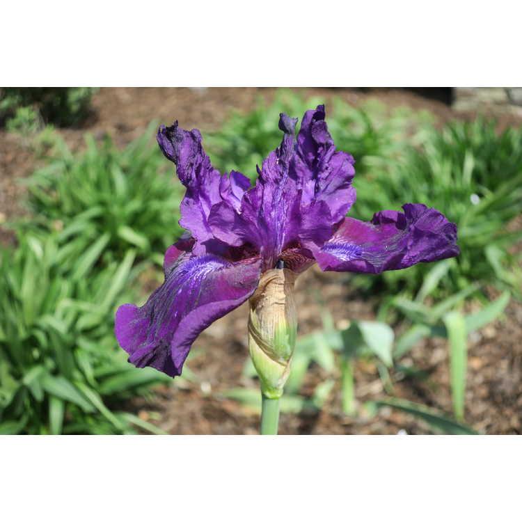 Iris germanica 'Rosalie Figgie'
