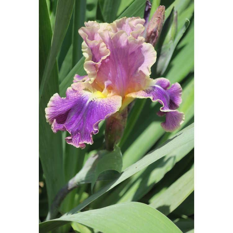 Iris 'Violet Classic'