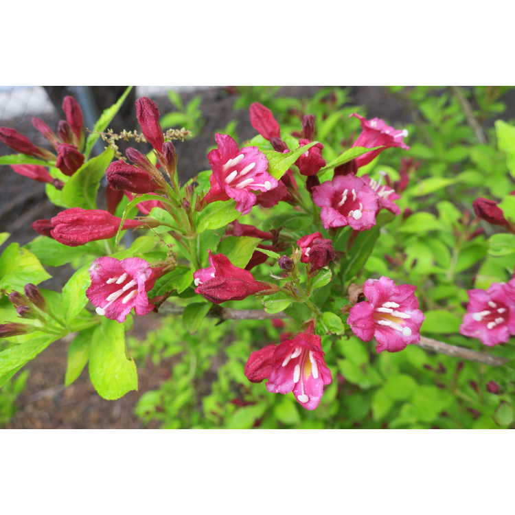 Weigela japonica Darts Colourdream