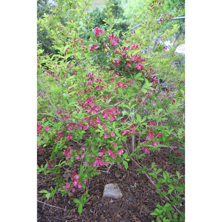 Weigela japonica Darts Colourdream