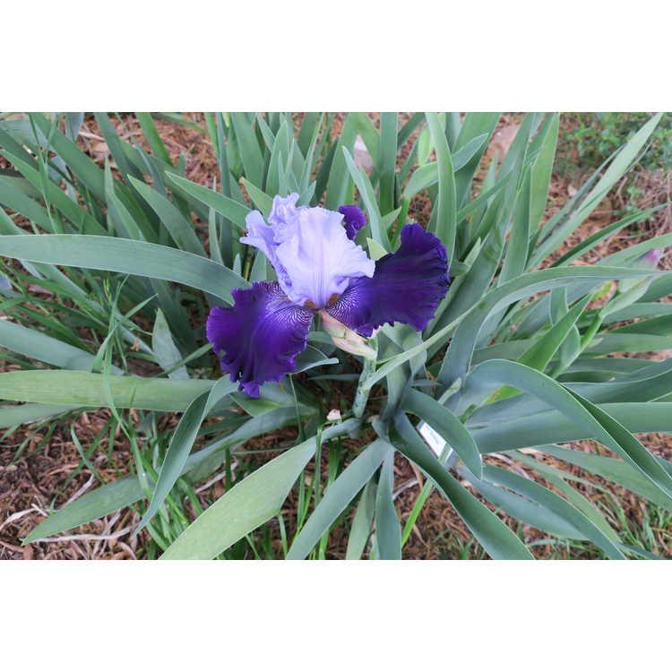 Iris 'Striking'