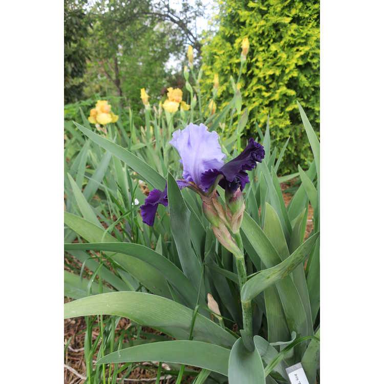 Iris Striking