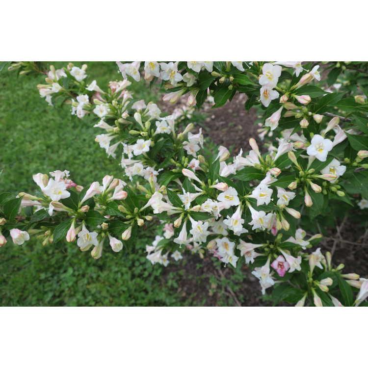 Weigela florida Bokrasopea Sonic Bloom Pearl