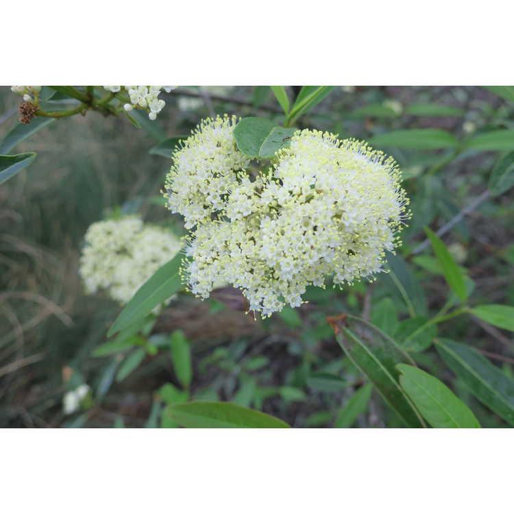 Viburnum nudum 'Angustifolium'