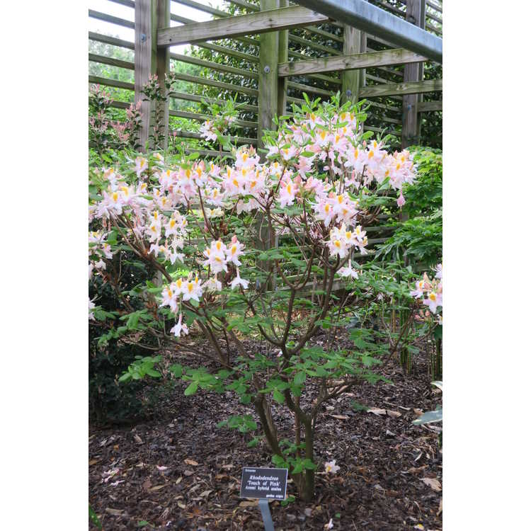 Rhododendron 'Touch of Pink' - Aromi hybrid azalea