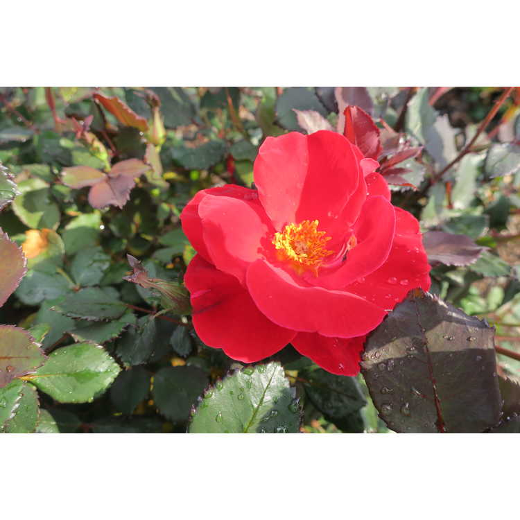 Rosa Miracle on the Hudson