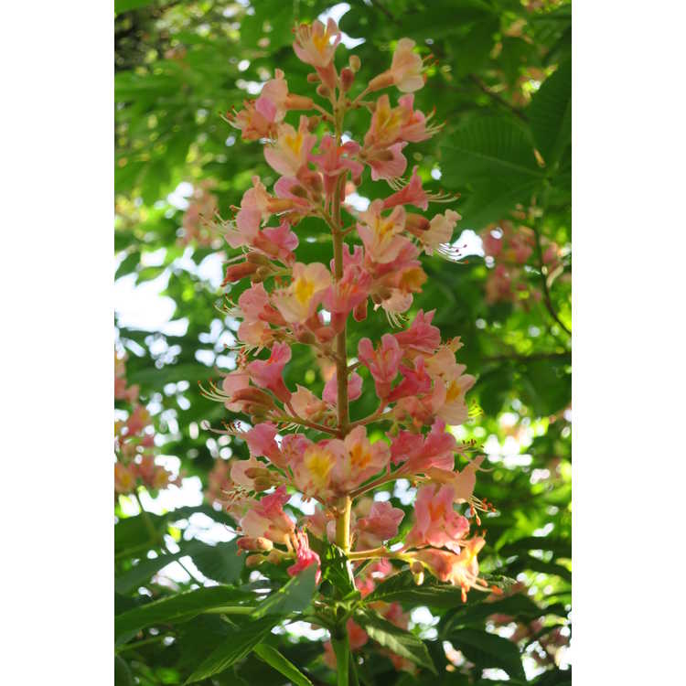 Aesculus ×carnea 'Fort McNair' - red horse chestnut