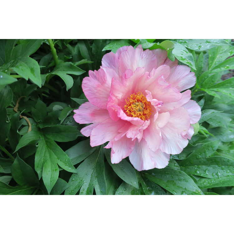 Paeonia 'Pink Double Dandy'